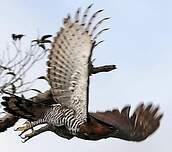 Aigle orné