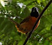 Cardinal érythromèle