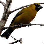 Cardinal flavert