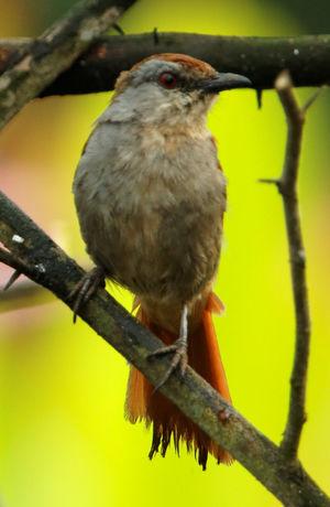 Cichladuse à queue rousse
