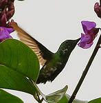 Colibri avocette