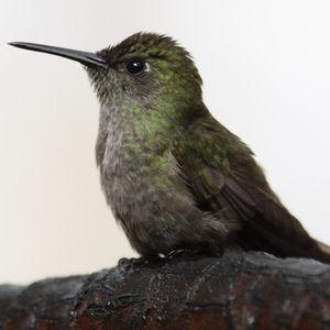Colibri vert et gris