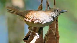 Myrmidon à ventre brun