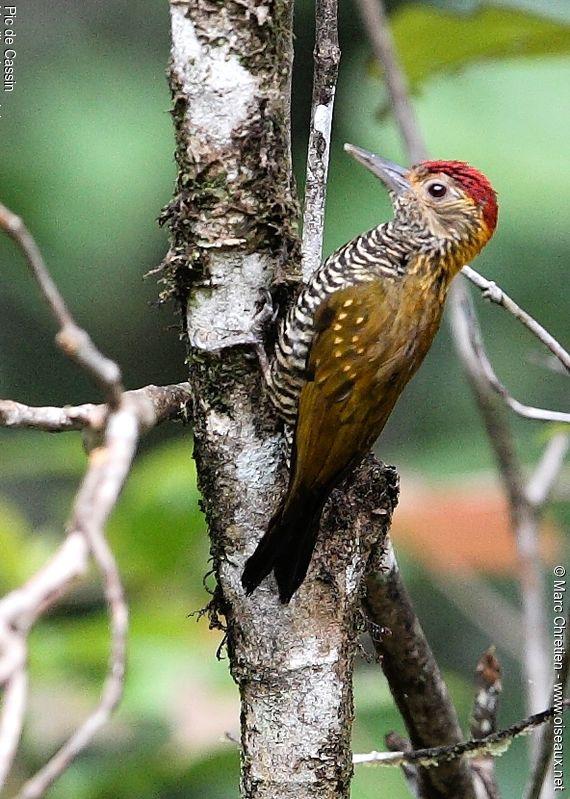 http://www.oiseaux.net/photos/marc.chretien/images/pic.de.cassin.mach.3g.jpg
