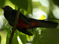 Trogon à queue noire