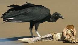 Urubu noir