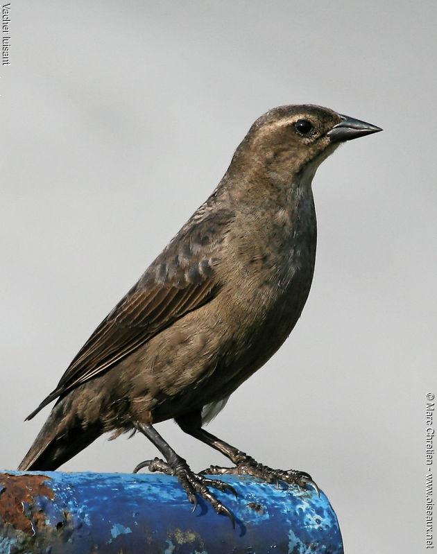 Cowbird Female