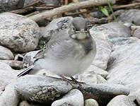 Bergeronnette grise