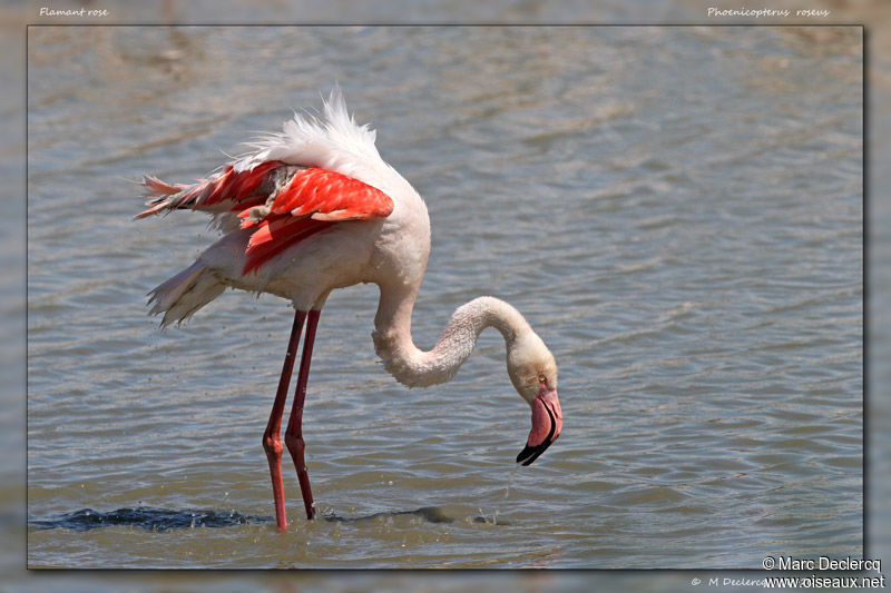 Flamant rose , identification