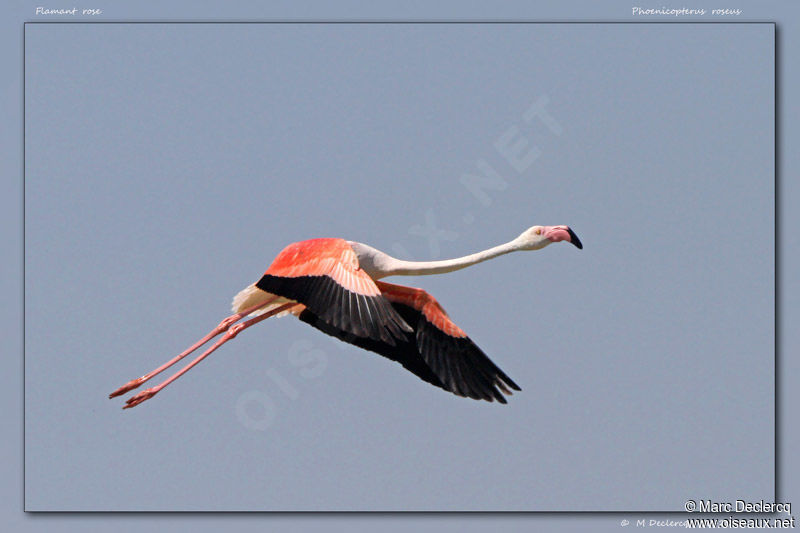 Flamant rose , identification, Vol