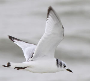 Mouette tridactyle