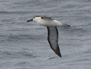 Albatros à nez jaune