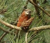 Bec-croisé perroquet