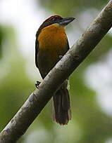 Cabézon oranvert