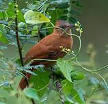 Cacholote roux