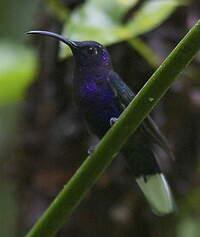 Campyloptère violet
