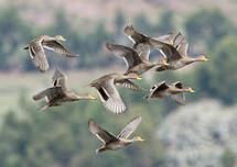 Canard à queue pointue