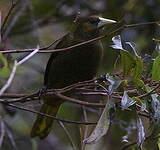 Cassique olivâtre