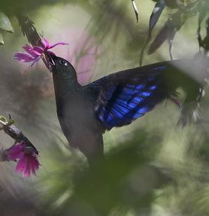 Colibri à ailes saphir