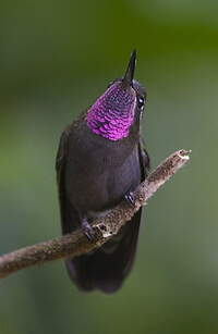 Colibri à gorge améthyste