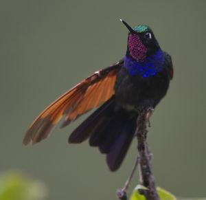 Colibri à gorge grenat
