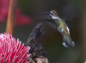 Colibri corinne