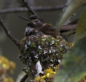 Colibri d'Alice