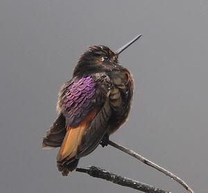 Colibri de Castelneau