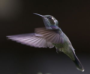 Colibri de Geoffroy