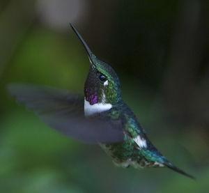 Colibri de Mulsant