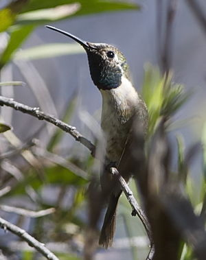 Colibri fanny