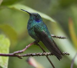 Colibri thalassin