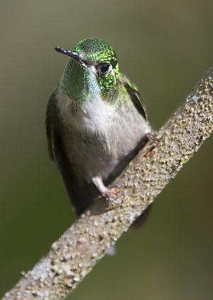 Colibri vert-d'eau