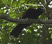 Coracine noire