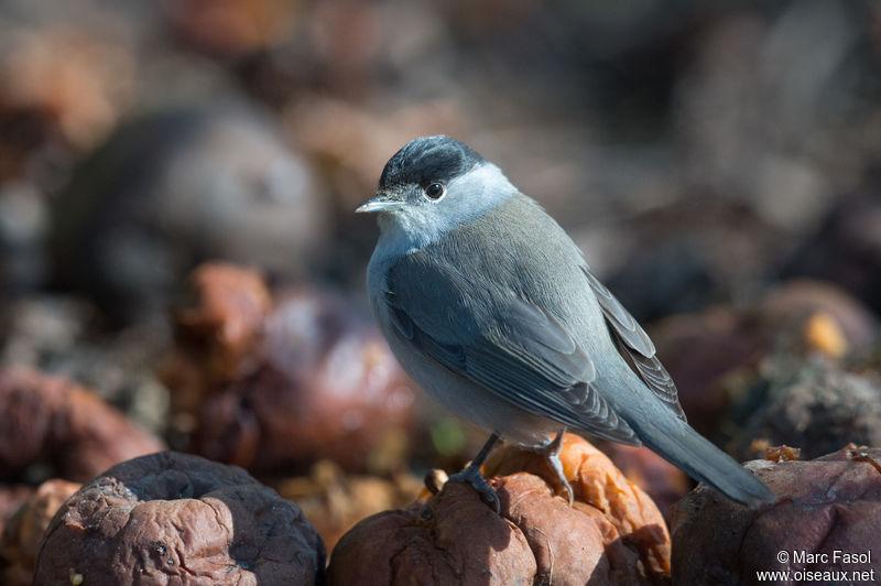 Fauvette t te noire photos for Oiseau tete noire