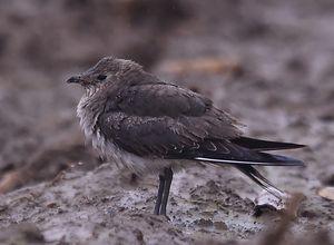 Glaréole à ailes noires