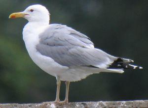 Goéland pontique