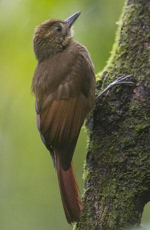 Grimpar à ailes rousses