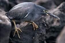 Héron des Galapagos
