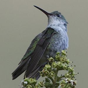 Ariane du Pérou