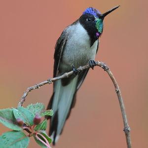 Colibri noble