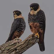 Faucon des chauves-souris