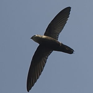 Martinet du Costa Rica