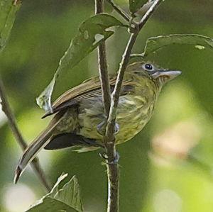 Platyrhynque de Colombie
