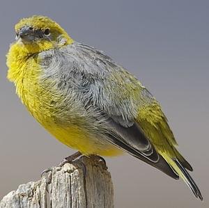 Sicale à croupion jaune