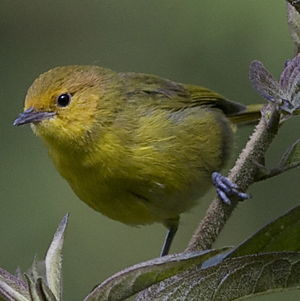 Tangara à ventre jaune