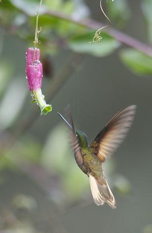 Inca violifère