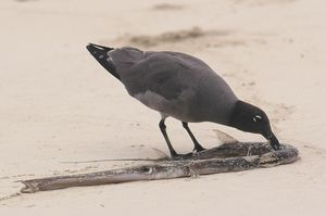 Mouette obscure