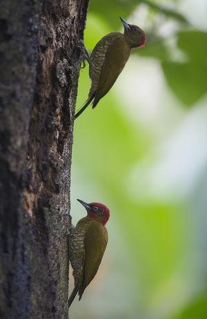Pic à ailes rousses
