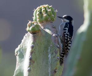Pic des cactus